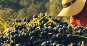 Blue Rock Vineyard Havest